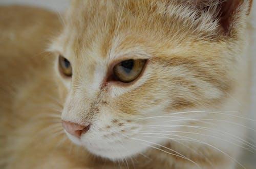 Free stock photo of animals, cat, portrait