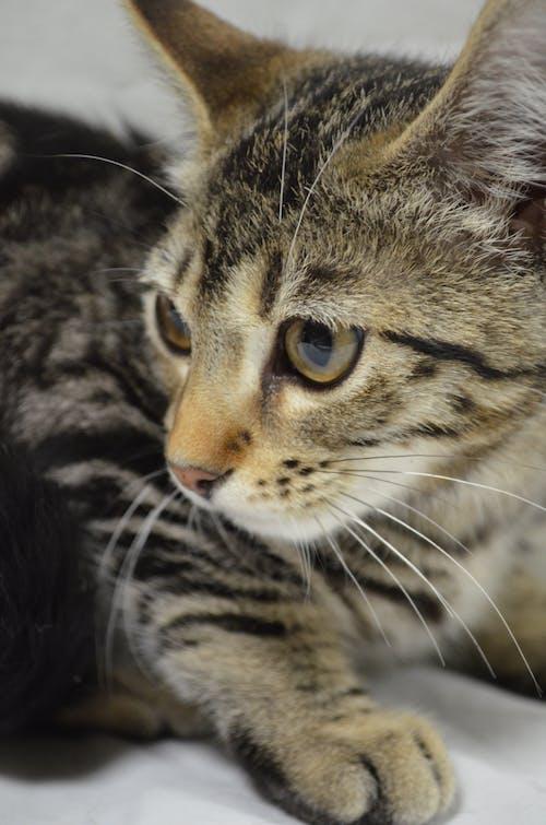 Free stock photo of animals, cat, cat eyes