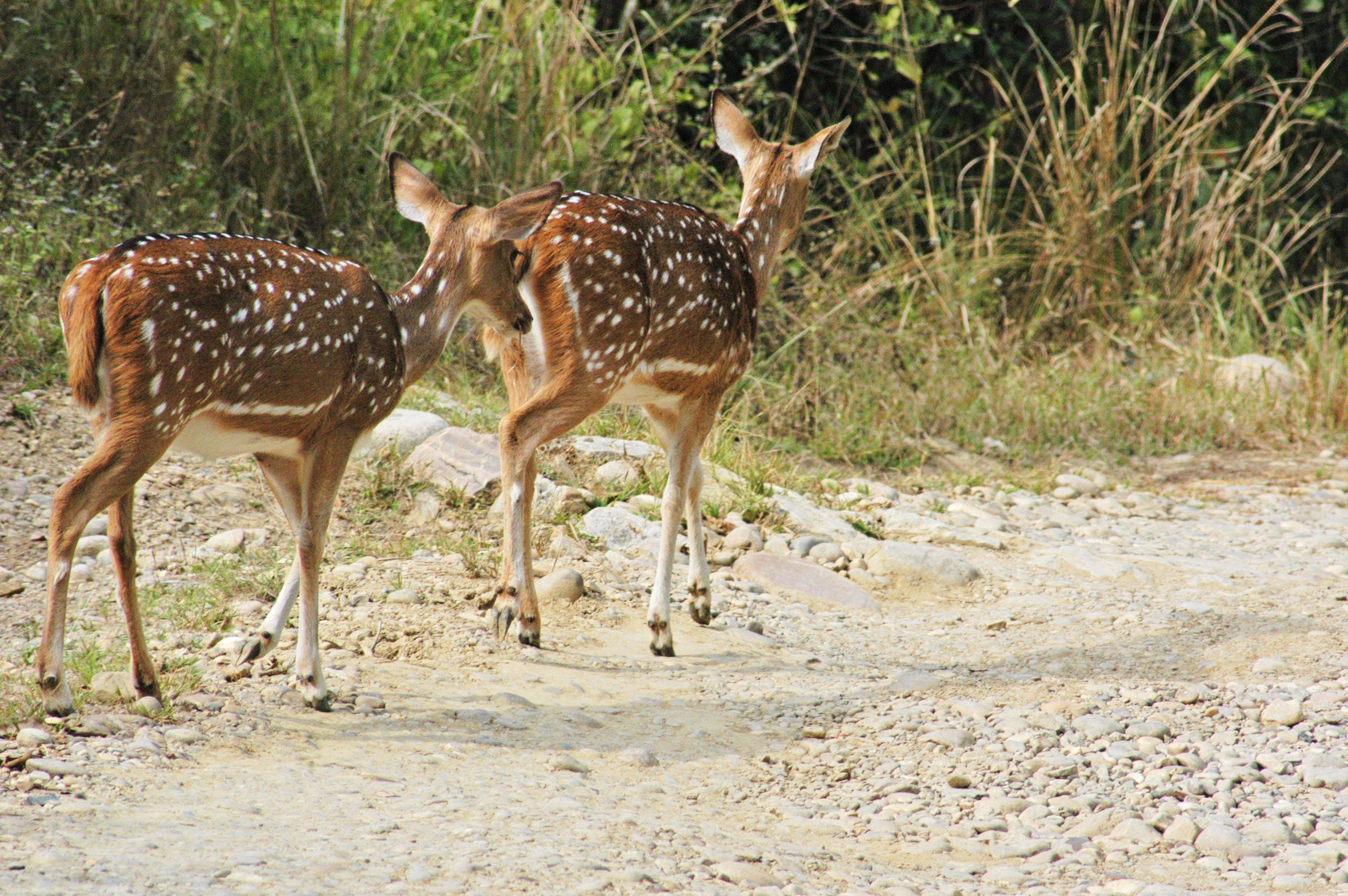 Free stock photo of himalayas, india, kumaun, spotted deers