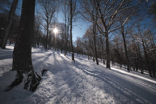 Tall leafless trees growing on snowy terrain in forest against blue sky with bright sunlight on cold winter day in nature