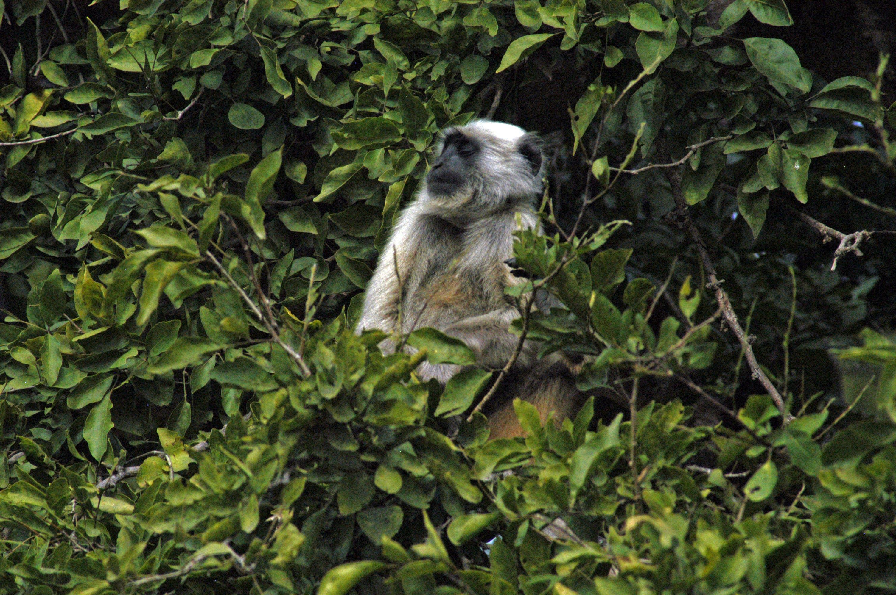 Free stock photo of forest, himalayan langoor, himalayas, india