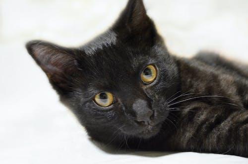Free stock photo of animal portrait, black cat, cat