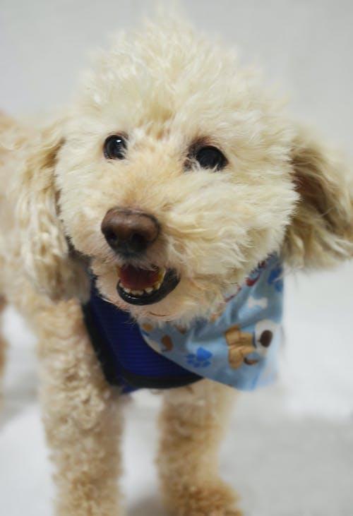 Free stock photo of animal portrait, dog, poodle