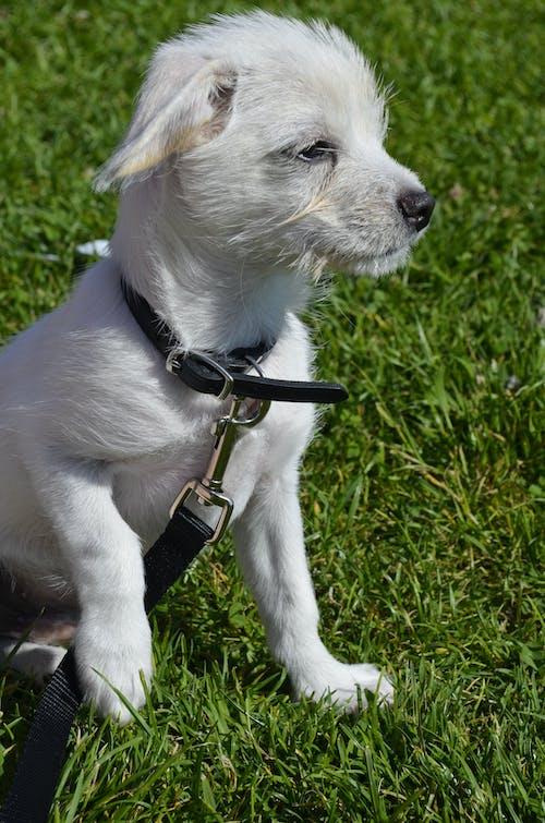 Free stock photo of dog, puppy, white dog
