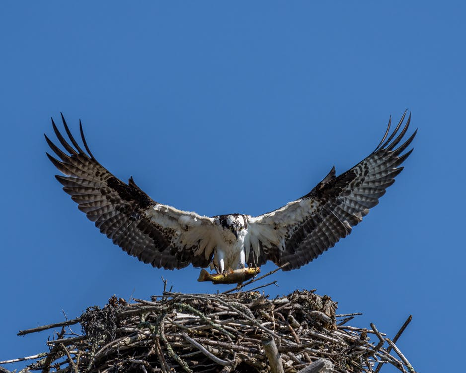 Fish hawk with prey and spread wings soaring over twig nest under cloudless sky on sunny day on blue background
