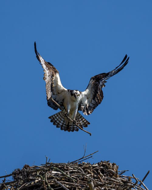 Osprey with twig flying in blue sky over nest