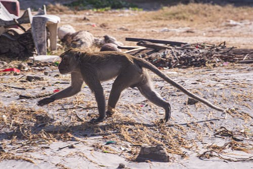 Free stock photo of monkey, thailand