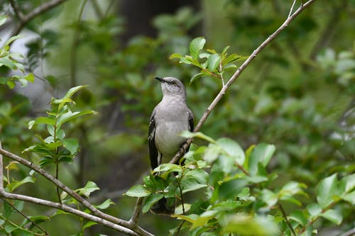 Close-Up Shot of a Mockingbird Perched on a Twig