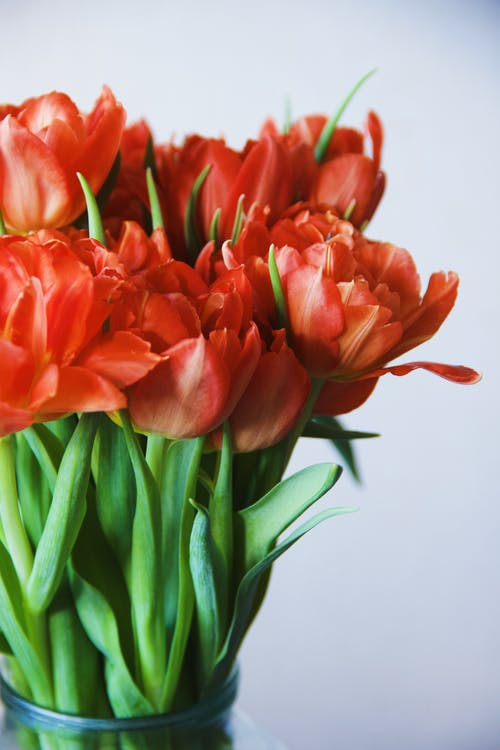 Red Tulips in Close Up Photography