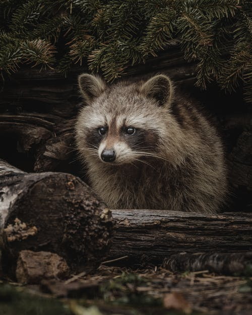 Attentive wild raccoon sitting amidst logs and branches of coniferous tree and looking away while hunting in woodland
