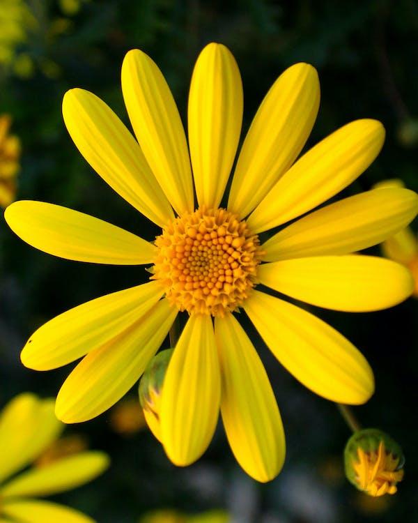 bunga aster, kuning, makro