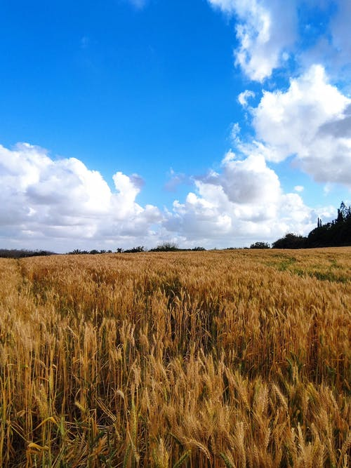 Free stock photo of agricultural field, barley, barley field