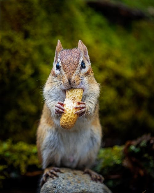 Small chipmunk with fluffy coat feeding nut with shell while looking at camera in daylight
