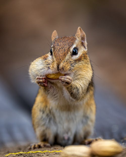 Small chipmunk with fluffy brown and gray fur feeding nut while looking at camera on blurred background
