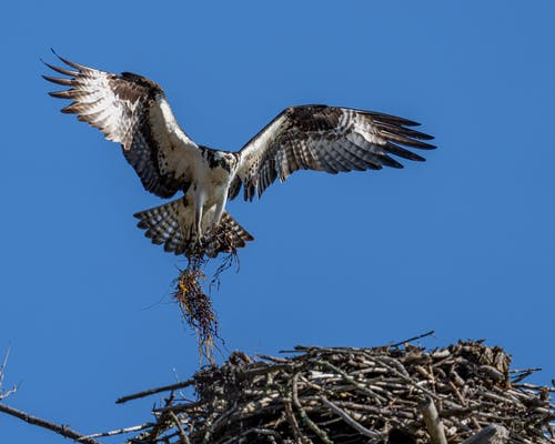 Osprey with dry grass flying in blue sky above nest
