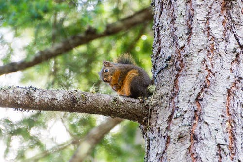 Brown and Gray Squirrel on Tree Branch