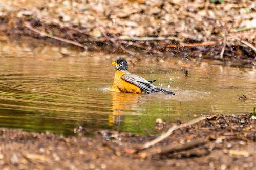 Immagine gratuita di acqua, animale, birdwatching