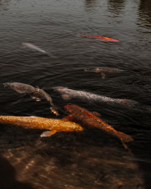 Black and Orange Fishes on Water