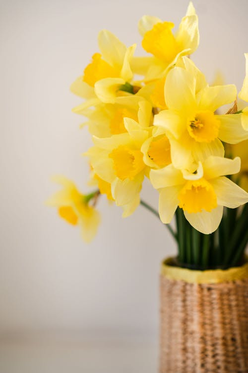 Bouquet of fresh yellow daffodils in vase