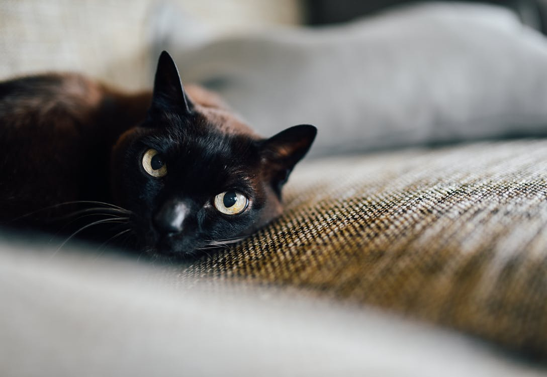 Bombay Cat Lying on the Brown Textile