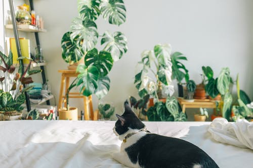 Tuxedo Cat on White Bed
