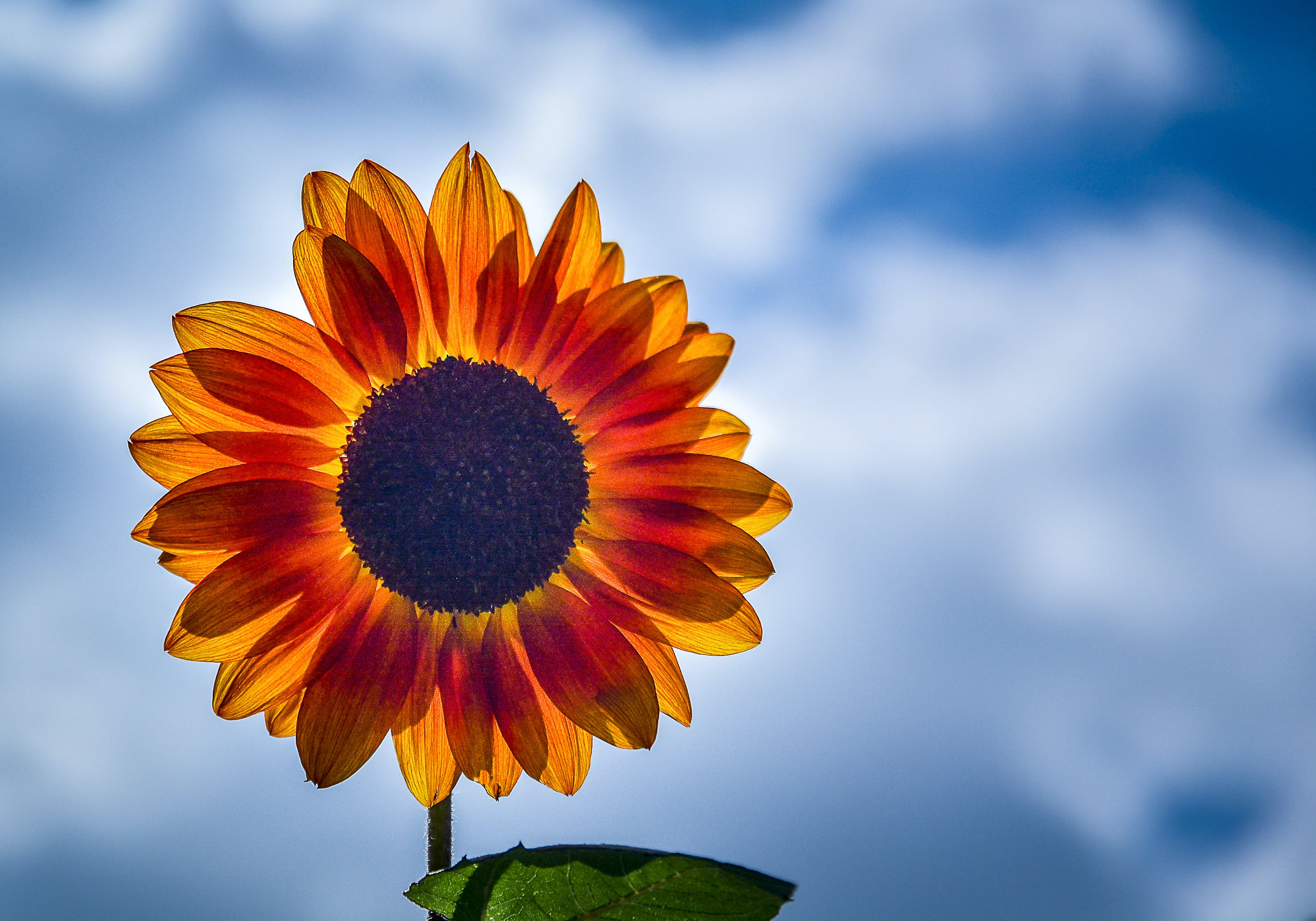 Selective Focus Photography of Yellow Sunflower in Bloom
