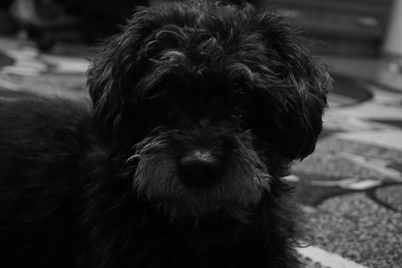 Free stock photo of animal, dog, pet, grey