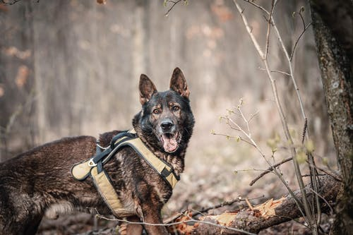A German Shepherd in the Forest
