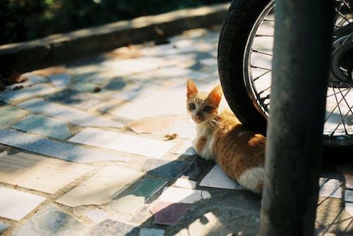 Orange Tabby Kitten on Motorcycle Wheel