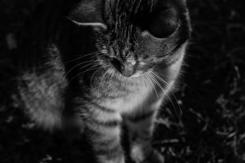 A Grayscale Photo of a Tabby Cat