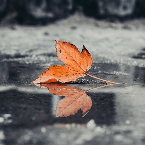 A Maple Leaf on a Wet Ground