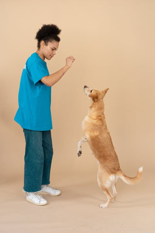 Woman in Blue Shirt Playing with Brown Short Coated Dog