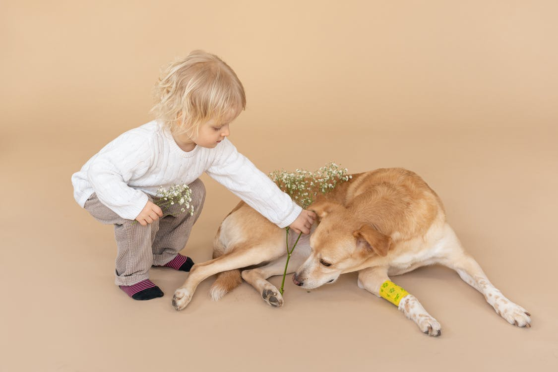 Child in casual clothes giving flower to dog with bandage on paw on beige background in light studio