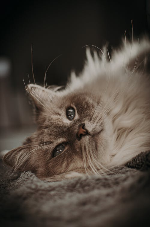 Fluffy cat lying in room