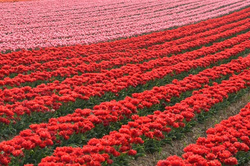 A Field of Red and Pink Tulips in Bloom