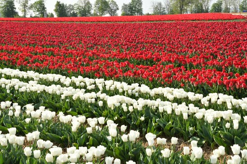 A Field of Red and White Tulips in Bloom