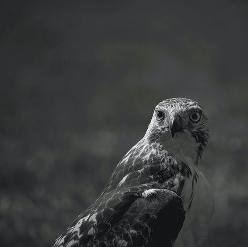 Grayscale Photography of Eagle