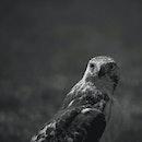 black-and-white, bird, animal