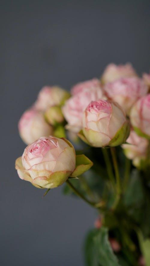 คลังภาพถ่ายฟรี ของ angiosperms, rosaceae, tracheophytes