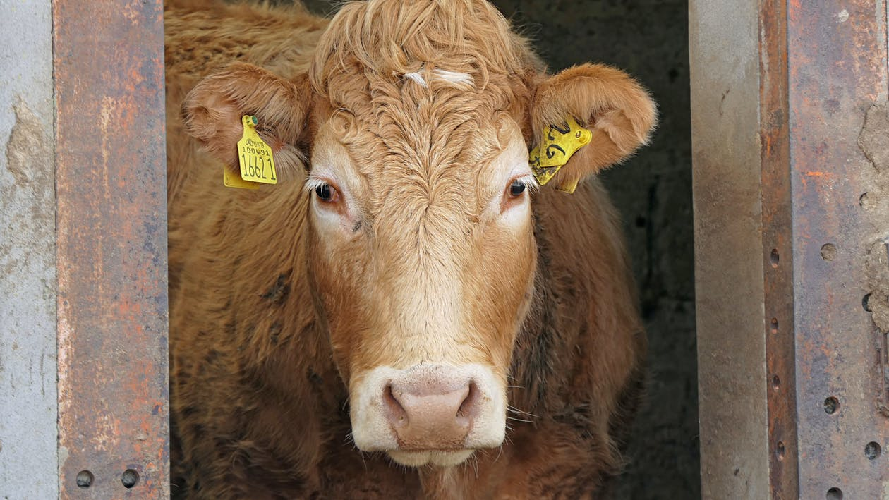 Brown Cow With Yellow Eyes
