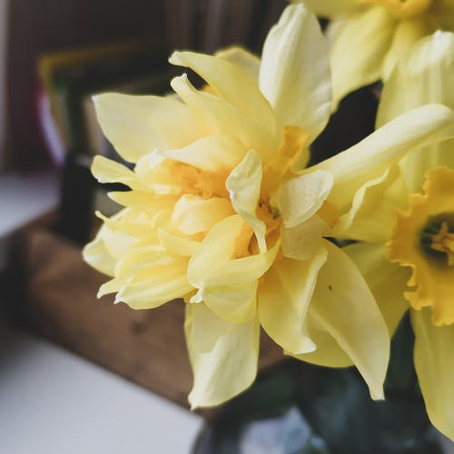 Bouquet of fresh bright narcissus flowers with yellow petals placed on table in light room at home on blurred background