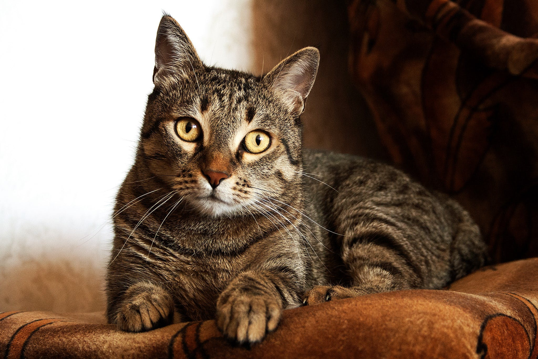 Adult Brown Tabby Cat