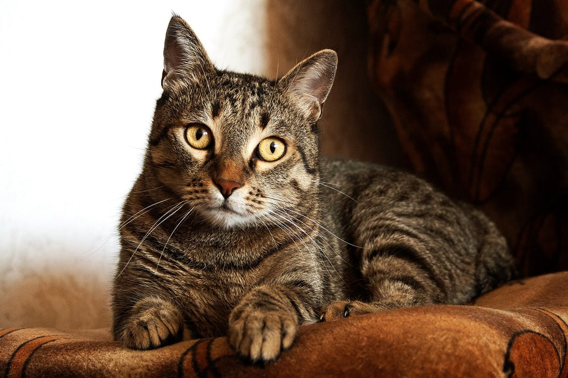Adult Brown Tabby Cat · Free Stock Photo
