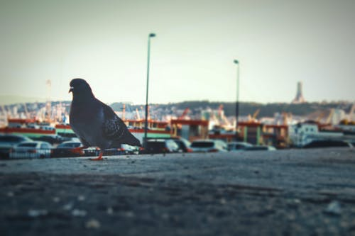 Free stock photo of bird pigeons
