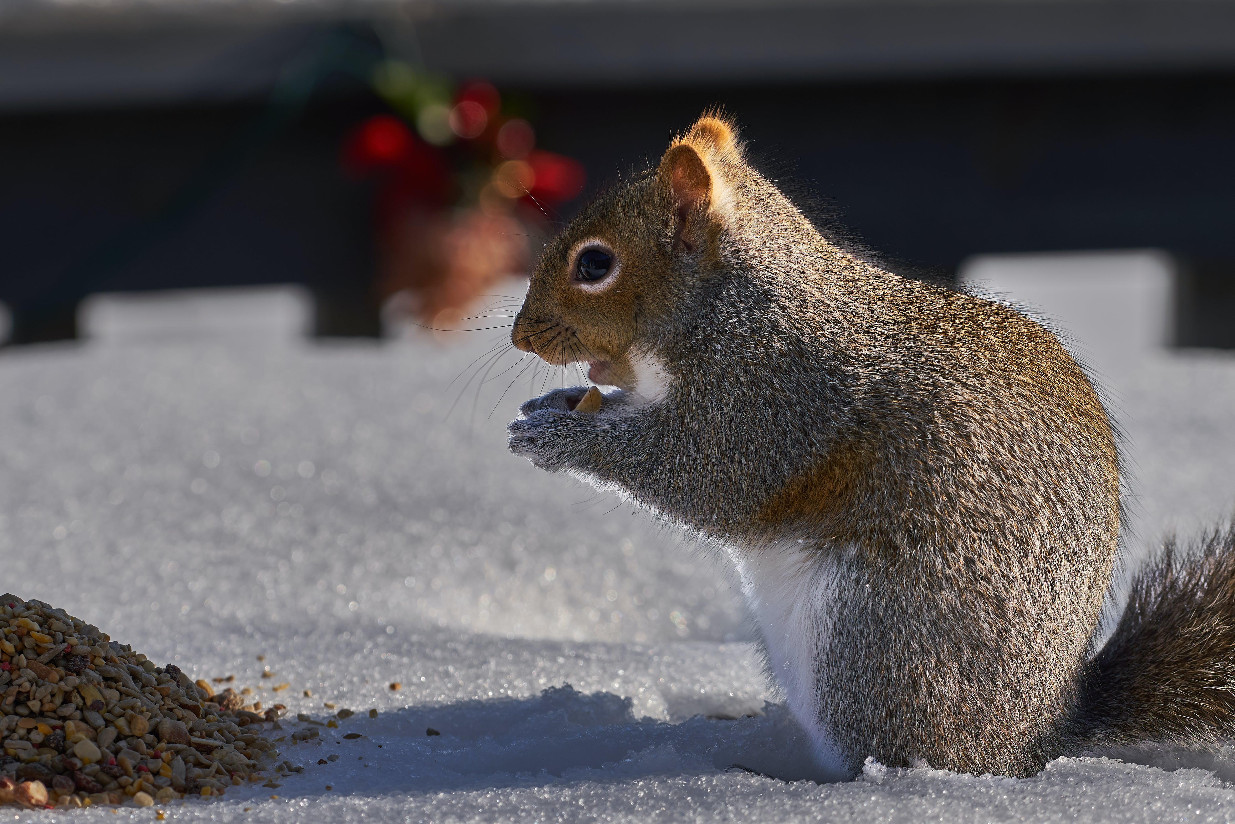 Free stock photo of squirrel, winter