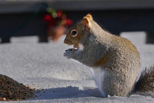 คลังภาพถ่ายฟรี ของ กระรอก, ฤดูหนาว