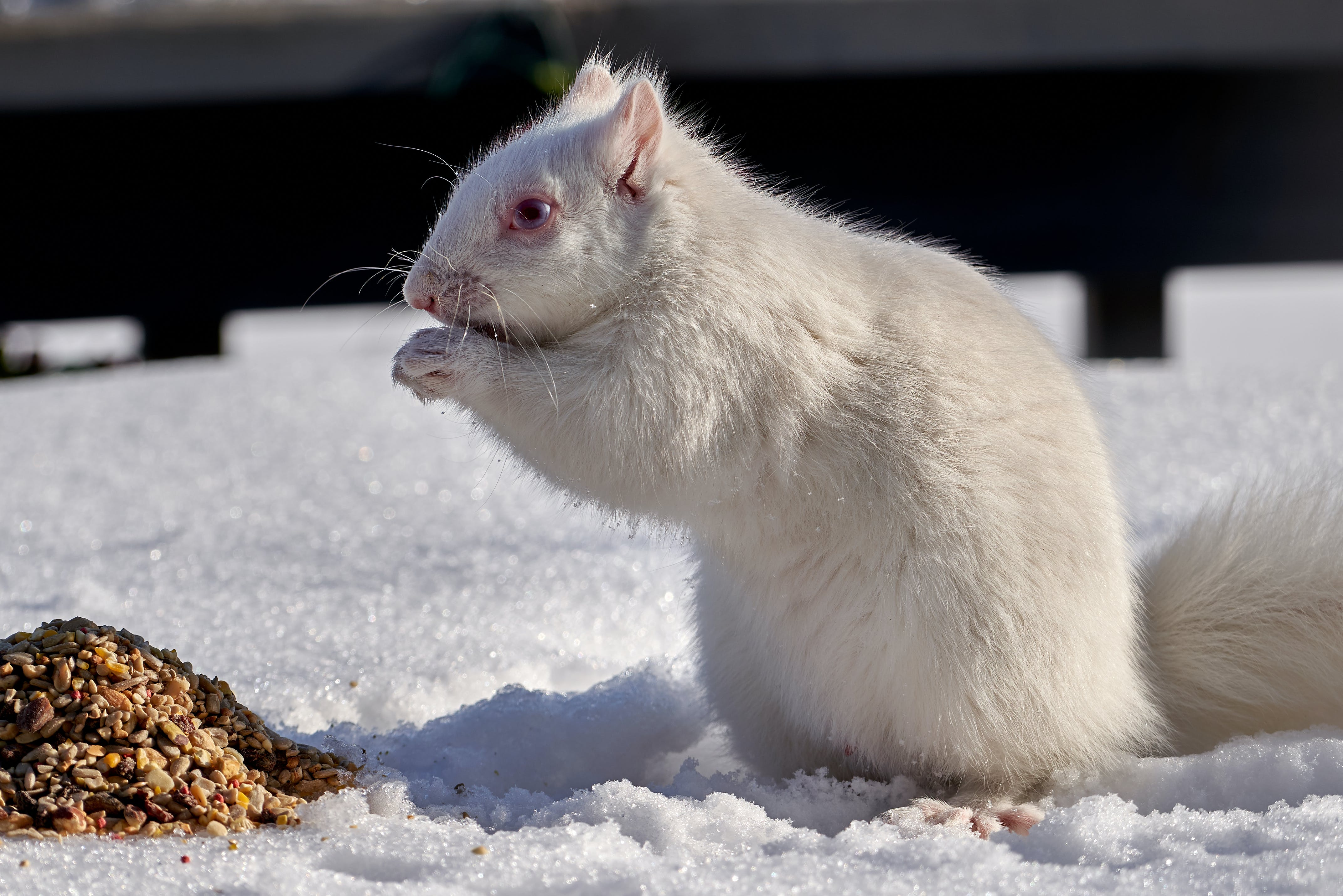 Free stock photo of food, squirrel, white, winter