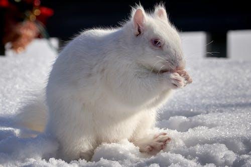 คลังภาพถ่ายฟรี ของ กระรอก, ขาว, ฤดูหนาว