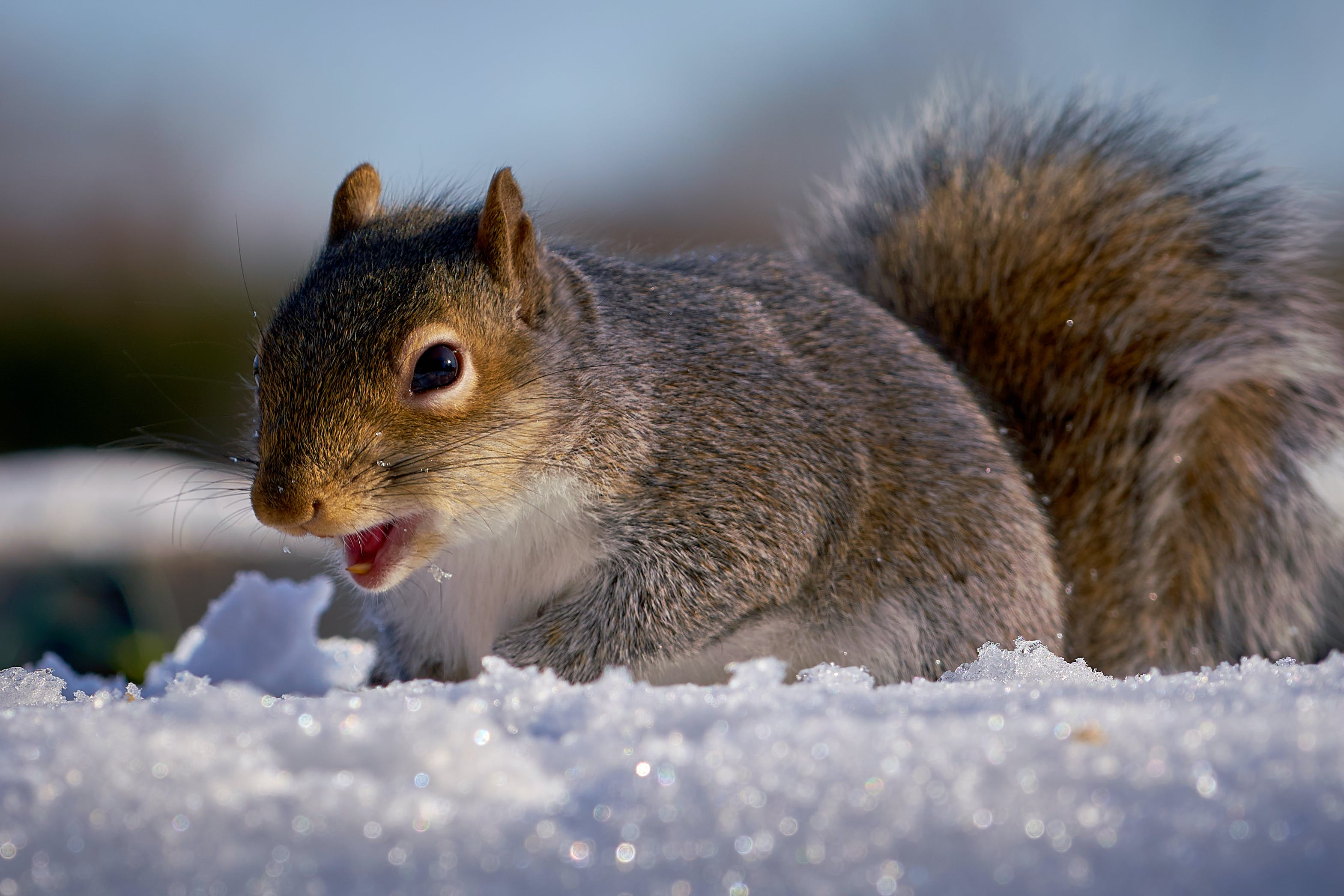 Free stock photo of happy, squirrel, winter