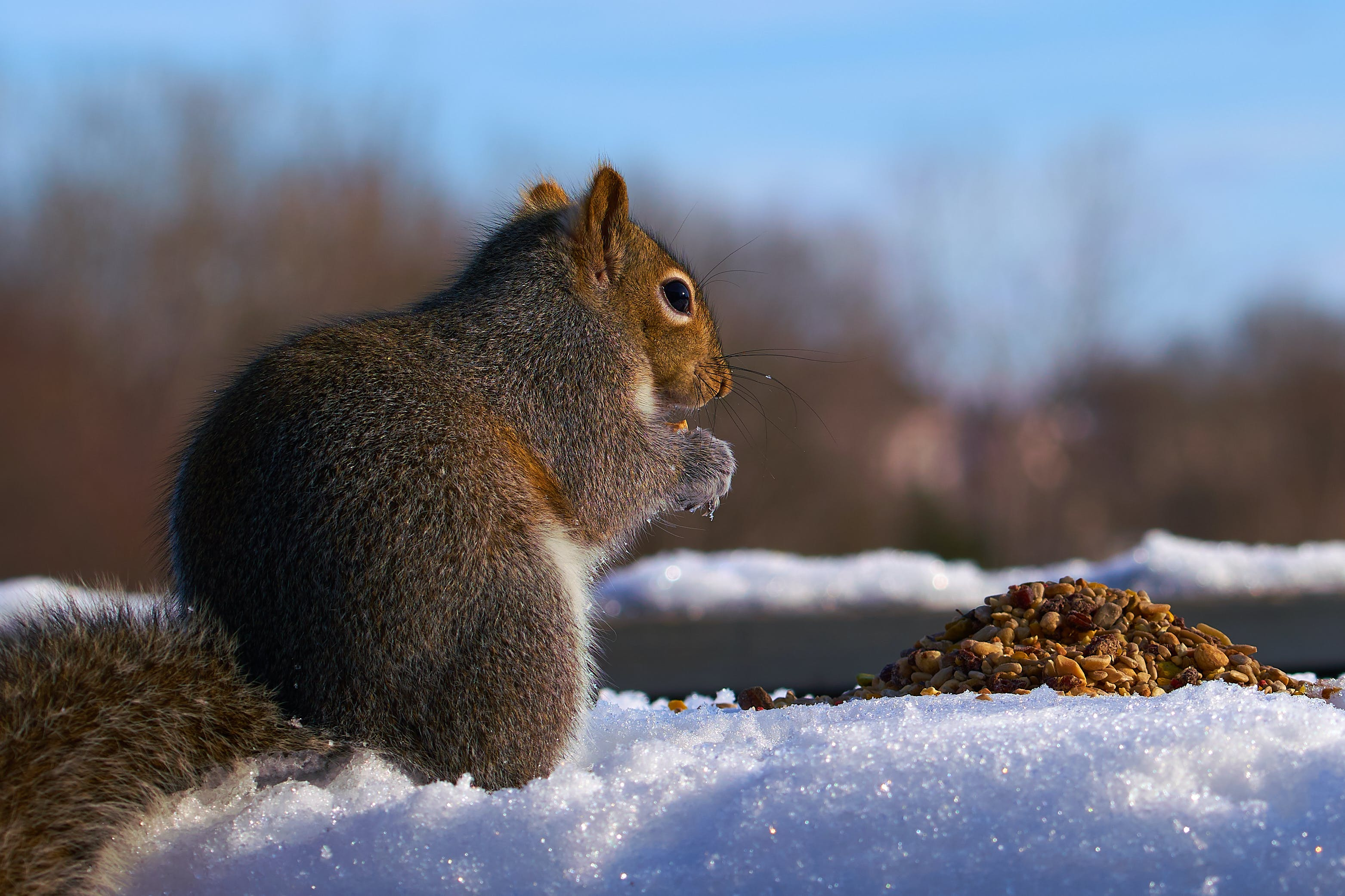 Free stock photo of food, squirrel, winter